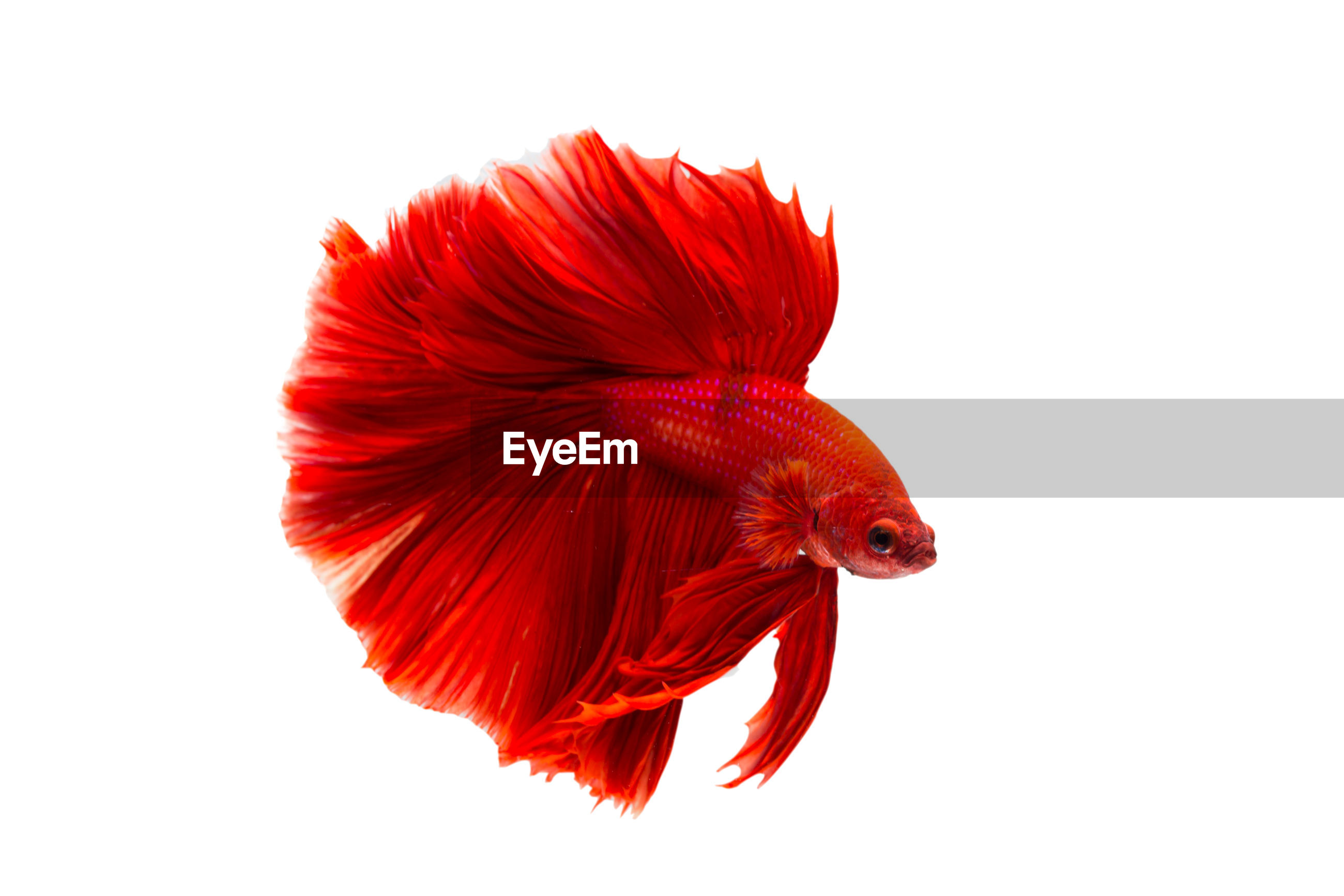 Super red betta fish. siamese fighting fish isolated on white background. thailand.