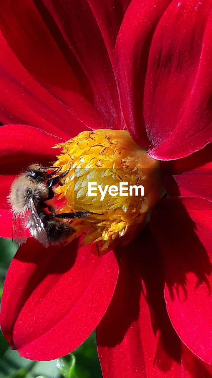 flower, petal, fragility, beauty in nature, freshness, one animal, flower head, nature, insect, animal themes, animals in the wild, growth, no people, pollen, bee, animal wildlife, plant, outdoors, day, red, close-up, blooming, pollination, bumblebee, buzzing