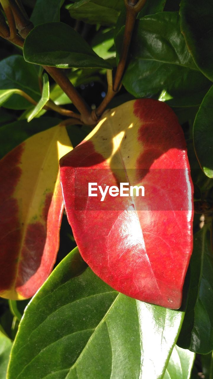 leaf, growth, red, nature, beauty in nature, plant, day, no people, close-up, outdoors, freshness, fruit, fragility, food, hibiscus, flower head