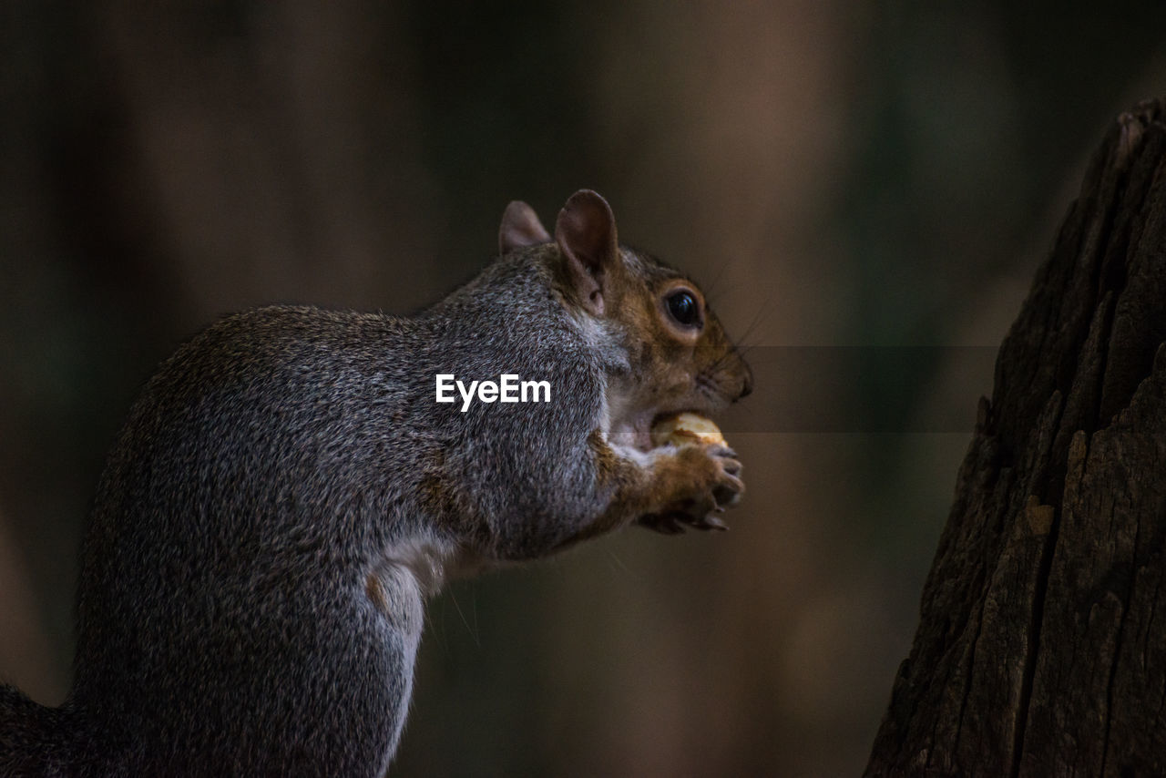 animal wildlife, animal themes, animal, animals in the wild, focus on foreground, tree, trunk, tree trunk, mammal, one animal, rodent, close-up, squirrel, vertebrate, no people, nature, plant, day, side view, outdoors, animal head, whisker, herbivorous