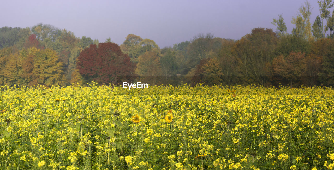 agriculture, yellow, growth, nature, field, beauty in nature, flower, oilseed rape, crop, farm, rural scene, tranquil scene, tree, tranquility, landscape, scenics, mustard plant, no people, day, plant, outdoors, springtime, fragility, freshness, sky