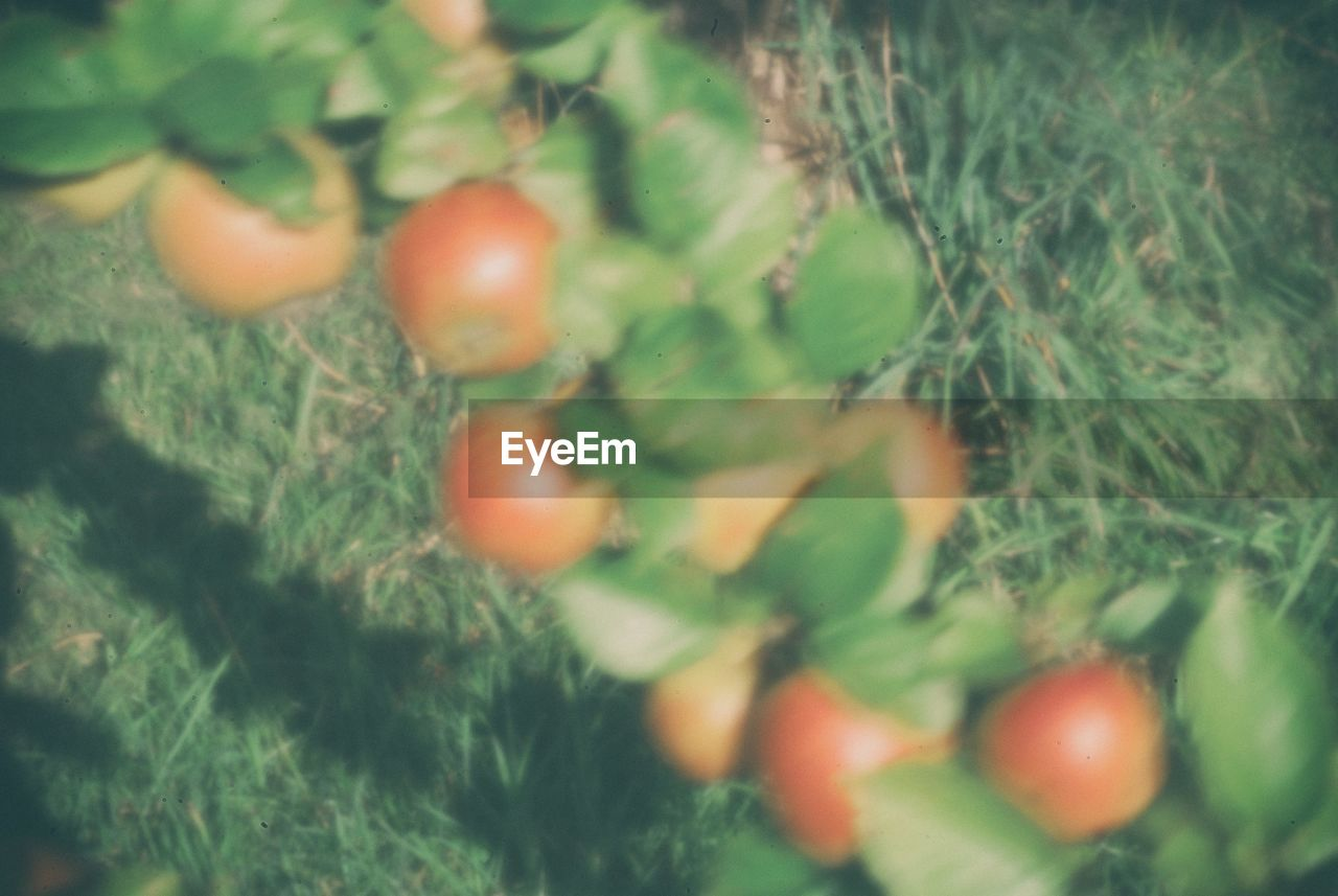growth, fruit, food and drink, nature, food, no people, outdoors, day, freshness, healthy eating, plant, beauty in nature, close-up, tree