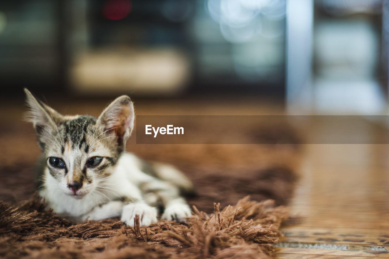Kitten Relaxing On Carpet