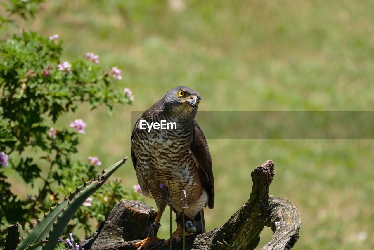 animal, animal themes, animals in the wild, animal wildlife, vertebrate, bird, one animal, perching, focus on foreground, bird of prey, plant, day, no people, nature, outdoors, close-up, tree, falcon - bird, beauty in nature, looking away, eagle, wooden post