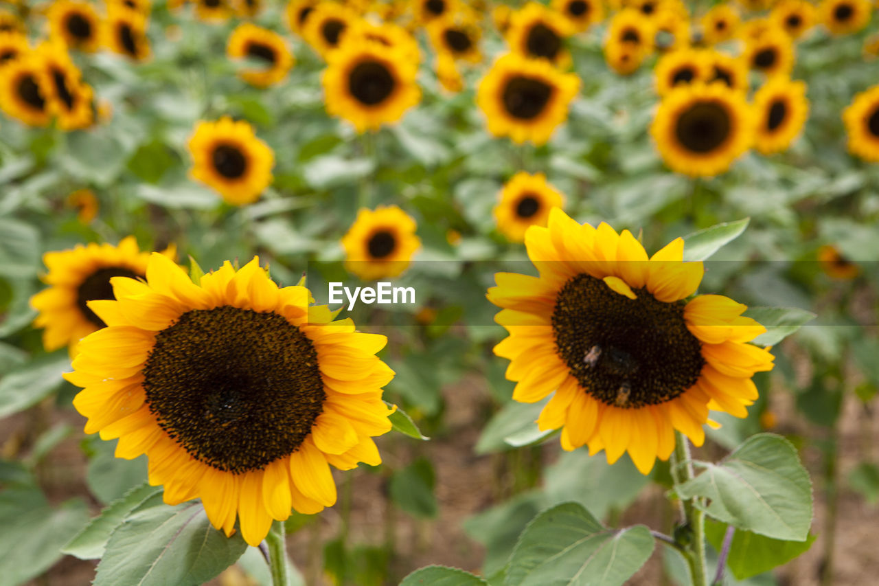 flower, flowering plant, yellow, flower head, fragility, petal, growth, vulnerability, inflorescence, plant, freshness, beauty in nature, close-up, pollen, focus on foreground, nature, sunflower, day, no people, outdoors