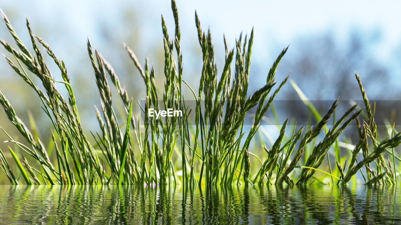 plant, growth, green color, beauty in nature, nature, tranquility, no people, water, day, focus on foreground, sky, close-up, outdoors, grass, land, agriculture, field, waterfront, scenics - nature, blade of grass
