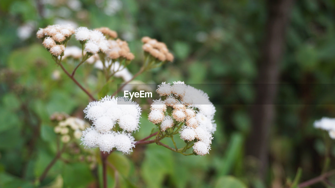 flower, flowering plant, plant, fragility, vulnerability, beauty in nature, growth, focus on foreground, white color, close-up, freshness, day, nature, no people, flower head, inflorescence, field, tranquility, outdoors, selective focus, softness