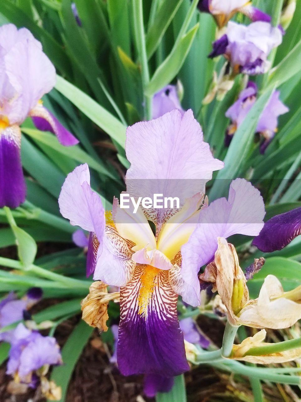 CLOSE-UP OF FRESH PURPLE IRIS FLOWERS ON PLANT