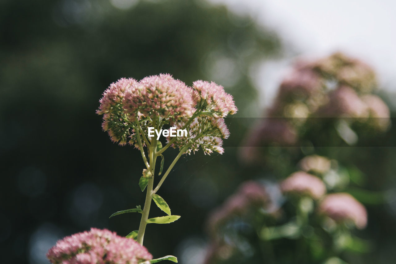 flower, plant, flowering plant, growth, vulnerability, fragility, beauty in nature, freshness, close-up, nature, no people, focus on foreground, flower head, day, inflorescence, petal, selective focus, plant stem, outdoors, pink color, sepal