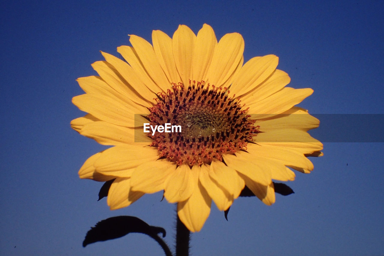 flower, yellow, petal, fragility, nature, sunflower, beauty in nature, flower head, no people, clear sky, freshness, outdoors, blue, close-up, growth, day, sky