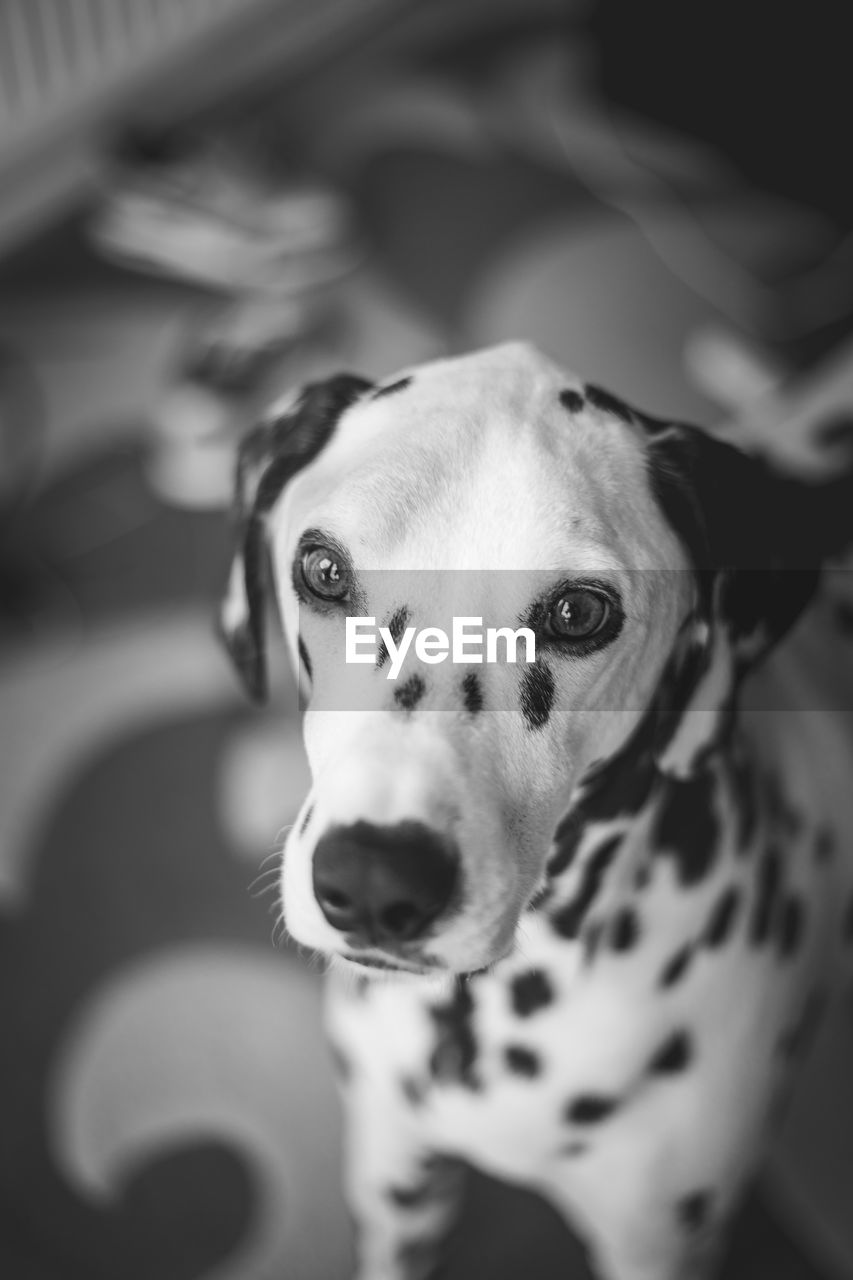 dog, canine, pets, domestic, domestic animals, one animal, animal themes, mammal, animal, portrait, vertebrate, looking at camera, dalmatian dog, indoors, no people, animal body part, focus on foreground, high angle view, animal head, spotted, purebred dog