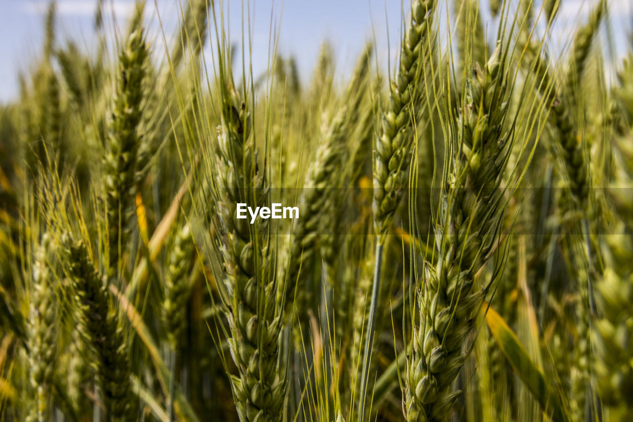 growth, agriculture, crop, cereal plant, farm, field, nature, close-up, ear of wheat, day, wheat, clear sky, outdoors, rural scene, no people, green color, focus on foreground, plant, sky, beauty in nature, rye - grain, freshness