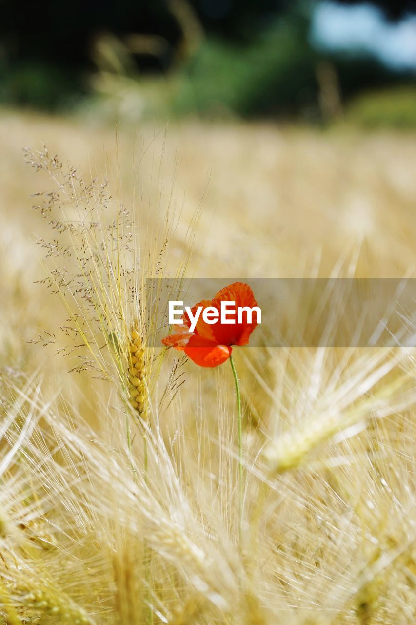 plant, flowering plant, flower, beauty in nature, growth, nature, field, red, fragility, land, selective focus, wheat, vulnerability, day, poppy, cereal plant, freshness, crop, agriculture, close-up, no people, flower head, outdoors