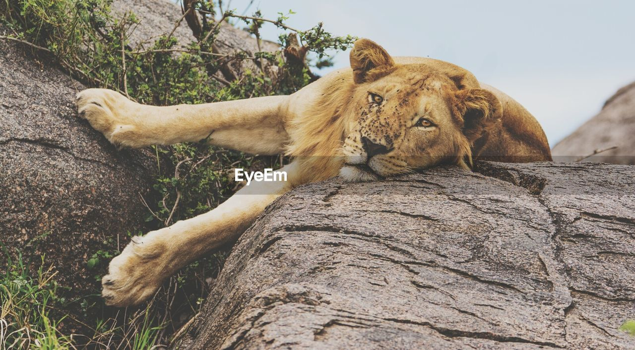 Low Angle Portrait Of Lion Relaxing On Rock