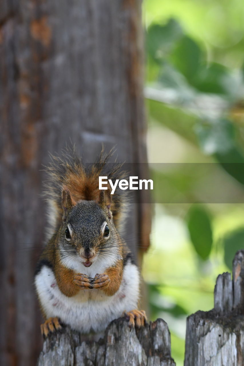 animal themes, animal wildlife, animal, one animal, mammal, animals in the wild, rodent, focus on foreground, squirrel, day, no people, close-up, nature, vertebrate, wood - material, tree, trunk, tree trunk, outdoors, looking at camera, whisker