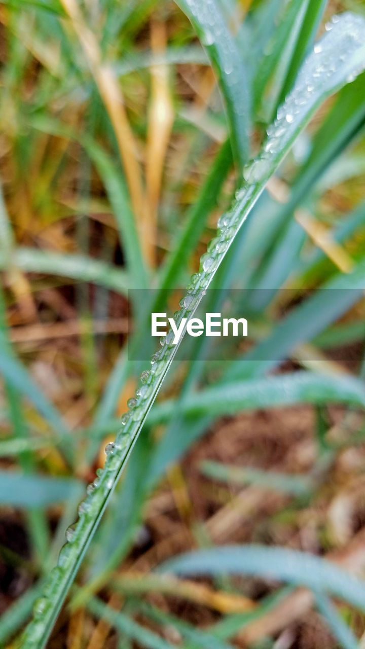 plant, growth, green color, grass, selective focus, beauty in nature, nature, close-up, land, blade of grass, no people, day, field, tranquility, outdoors, leaf, plant part, freshness, water, drop, dew