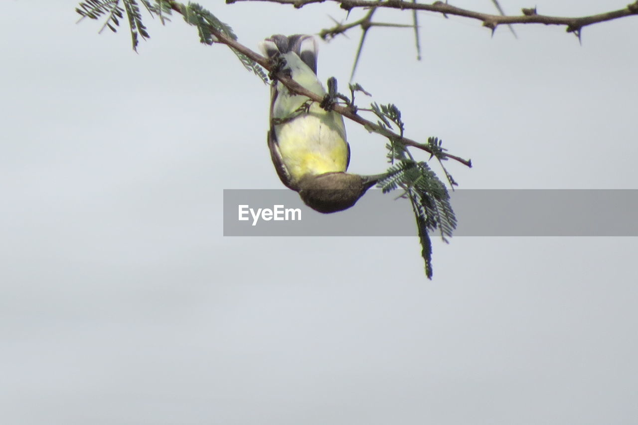 plant, tree, low angle view, nature, no people, branch, growth, sky, fruit, day, food, healthy eating, food and drink, beauty in nature, close-up, copy space, outdoors, leaf, plant part, focus on foreground