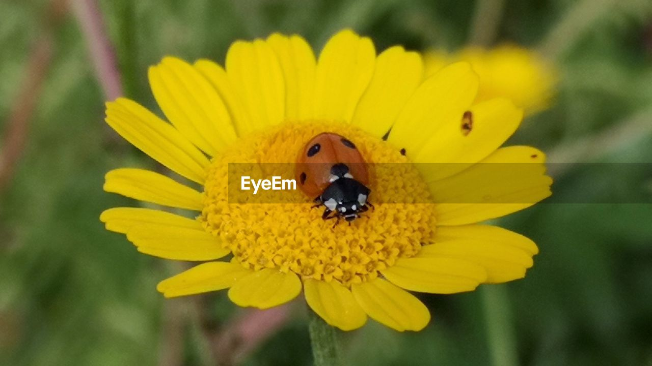 flower, flowering plant, yellow, fragility, invertebrate, petal, vulnerability, insect, animal wildlife, plant, animal themes, animals in the wild, flower head, animal, freshness, one animal, close-up, growth, inflorescence, beauty in nature, pollen, pollination, no people, outdoors