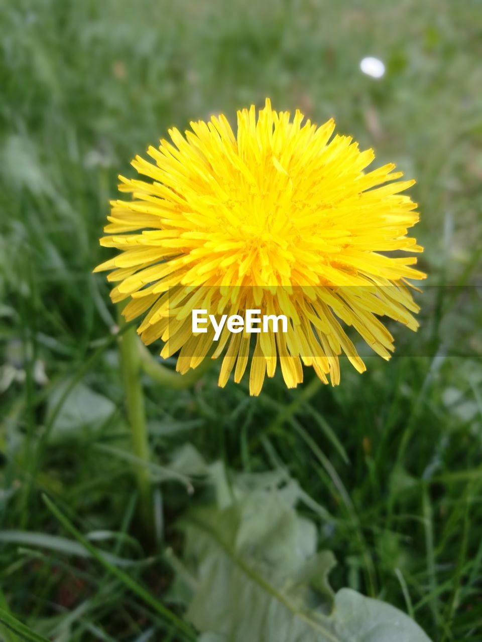 flower, yellow, flowering plant, plant, beauty in nature, vulnerability, fragility, flower head, growth, freshness, petal, inflorescence, close-up, focus on foreground, nature, field, day, no people, land, outdoors, sepal