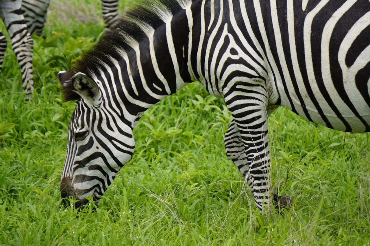 striped, zebra, animal themes, mammal, animal, grass, animal wildlife, animals in the wild, plant, safari, no people, nature, animal markings, natural pattern, travel destinations, group of animals, day, vertebrate, outdoors, herbivorous, semi-arid