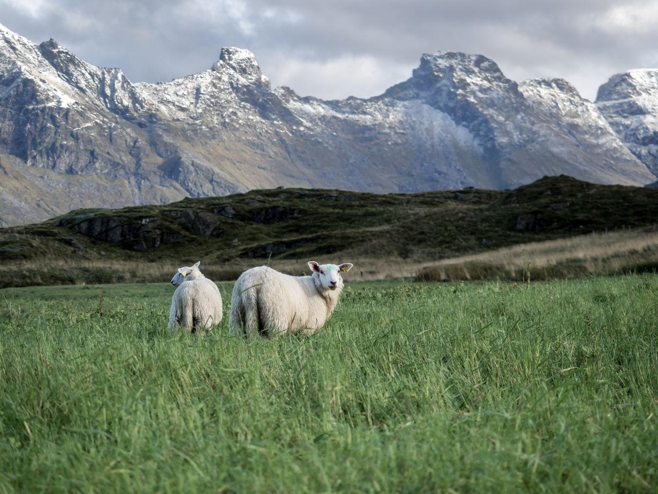 Sheep Grazing In Norway