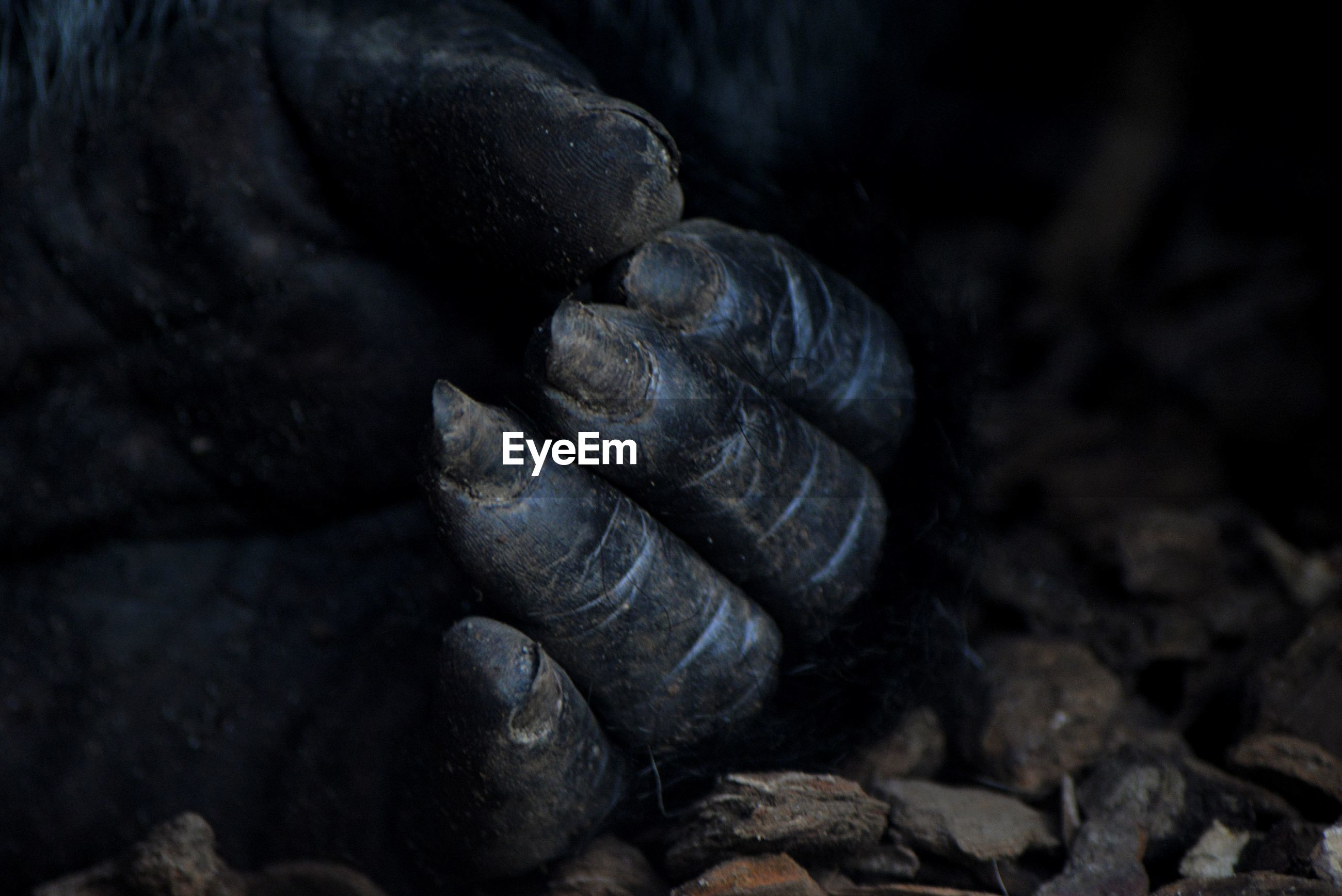 Cropped image of gorilla hand on stones