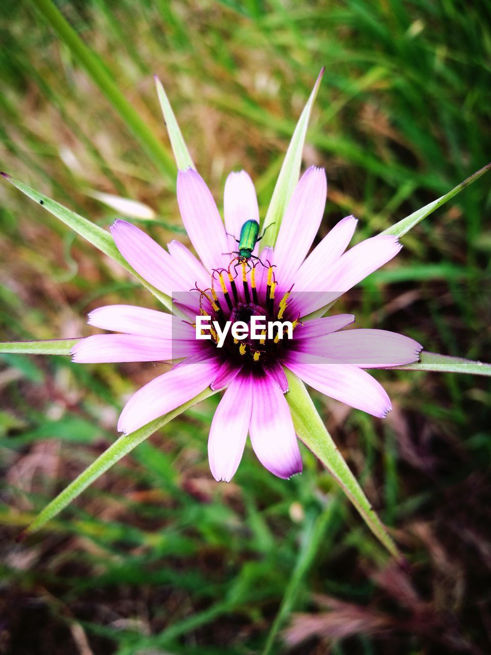 flower, petal, fragility, nature, flower head, beauty in nature, freshness, growth, purple, day, close-up, plant, pollen, outdoors, focus on foreground, no people, osteospermum, blooming, cosmos flower, passion flower