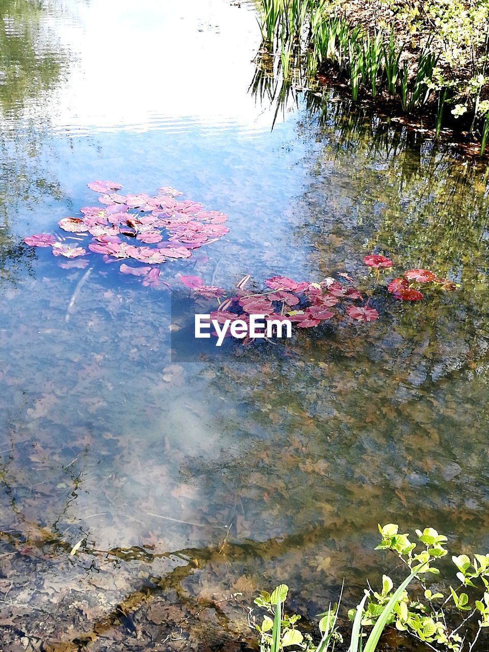water, nature, lake, flower, beauty in nature, growth, plant, floating on water, day, reflection, lily pad, no people, outdoors, leaf, tranquility, high angle view, water lily, scenics, fragility, tree