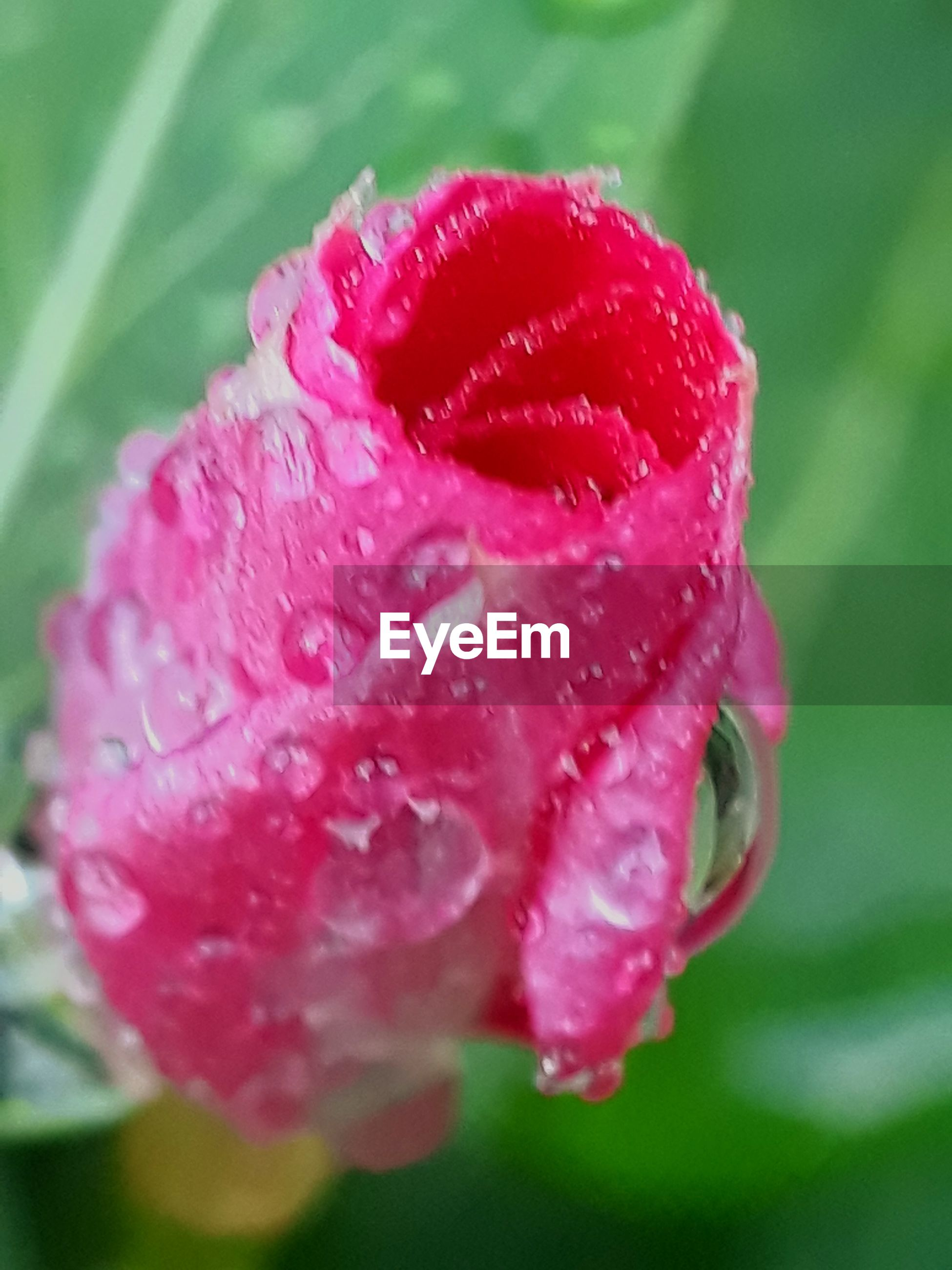 flowering plant, flower, vulnerability, fragility, petal, freshness, plant, beauty in nature, growth, inflorescence, pink color, close-up, flower head, water, drop, wet, nature, no people, outdoors, dew, softness, purity, raindrop