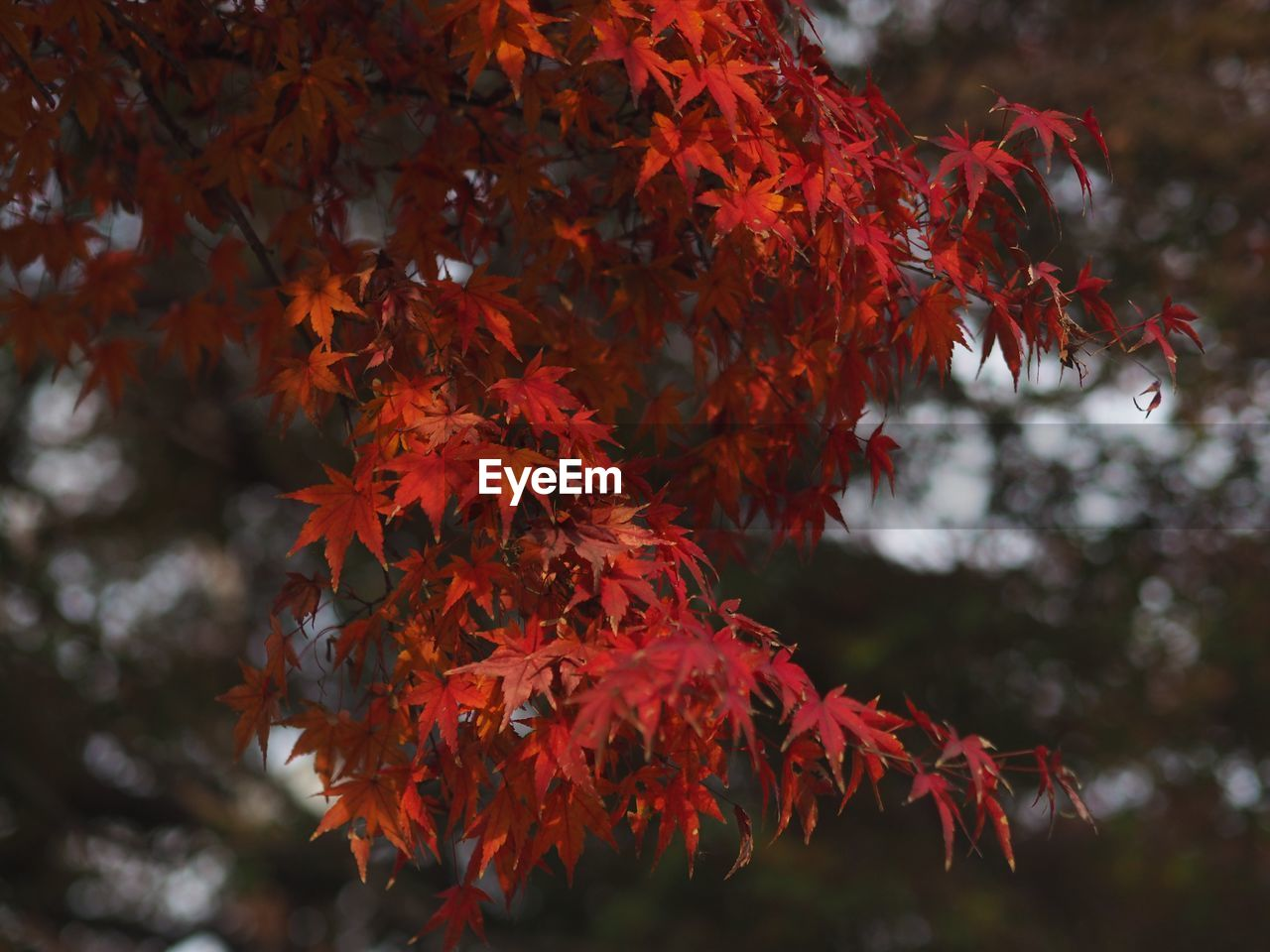 autumn, change, leaf, plant part, maple leaf, orange color, plant, close-up, red, focus on foreground, beauty in nature, growth, no people, nature, day, tree, maple tree, branch, outdoors, leaves, natural condition, autumn collection