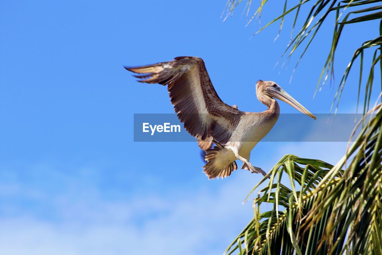 Low Angle View Of Pelican Flying Against Blue Sky