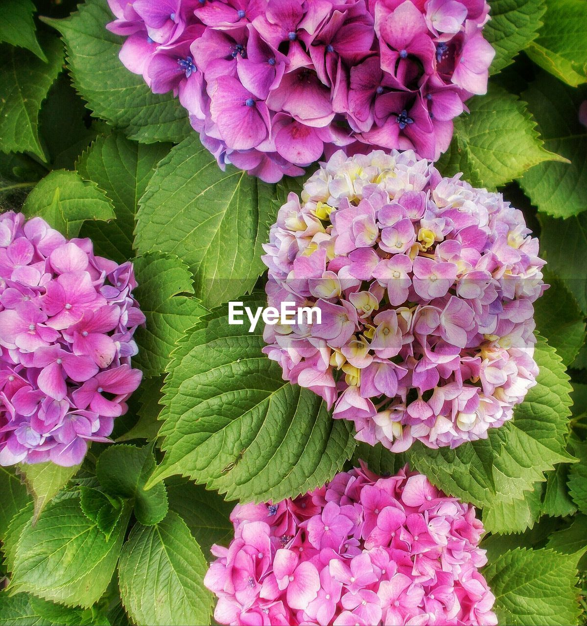 High Angle View Of Hydrangeas Blooming At Park