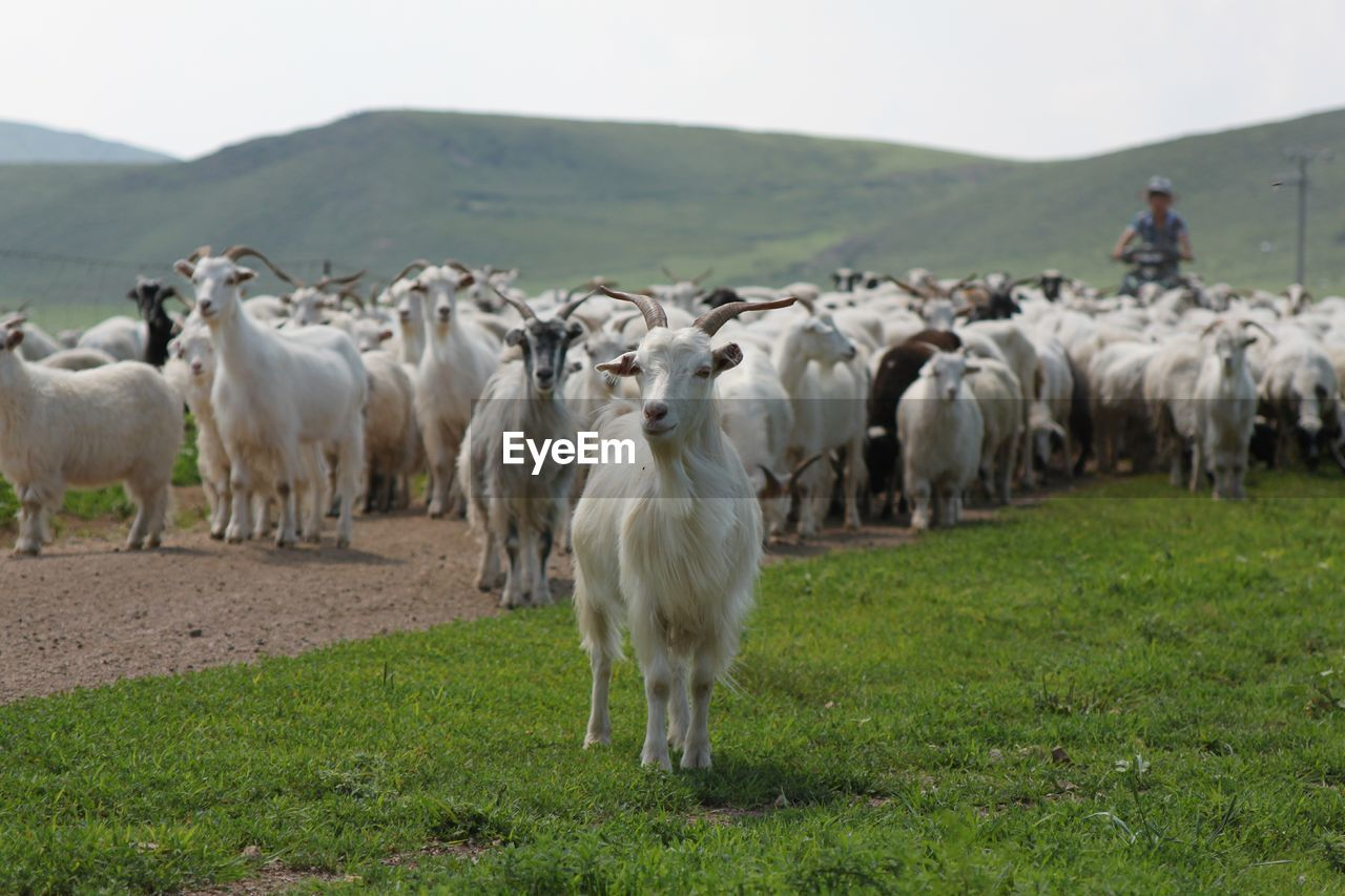 mammal, domestic animals, animal, animal themes, group of animals, livestock, domestic, pets, vertebrate, land, large group of animals, field, grass, landscape, environment, nature, plant, sheep, day, agriculture, herbivorous, no people, herd, outdoors