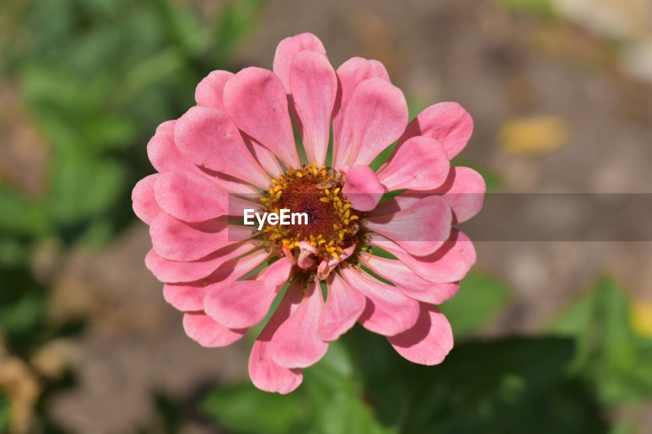flower, petal, nature, beauty in nature, flower head, fragility, growth, outdoors, one animal, freshness, day, focus on foreground, pollen, no people, pink color, plant, animals in the wild, close-up, blooming, animal themes, zinnia