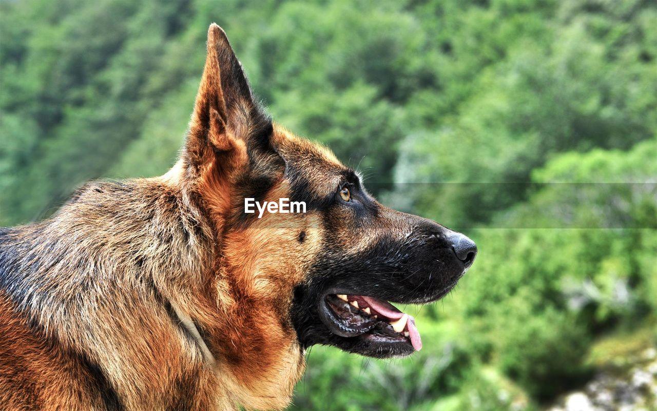 Close-up of german shepherd