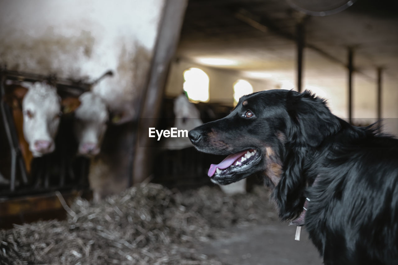 canine, dog, domestic, domestic animals, pets, mammal, one animal, animal themes, animal, vertebrate, focus on foreground, looking away, no people, looking, close-up, animal body part, indoors, day, animal head, mouth open