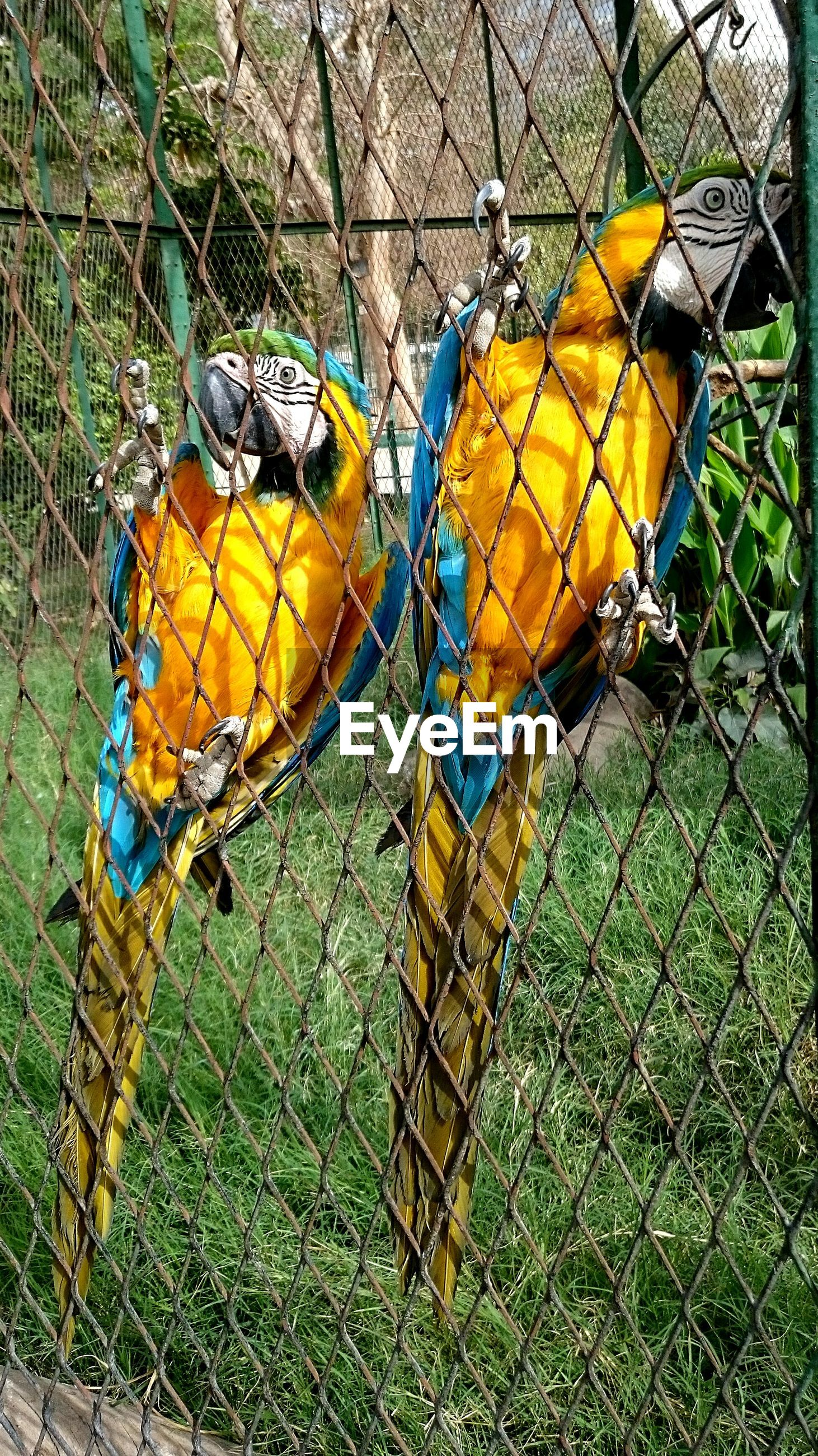 cage, chainlink fence, bird, no people, yellow, metal, animal themes, animals in captivity, outdoors, day, nature, parrot, close-up, multi colored, gold and blue macaw, perching, macaw
