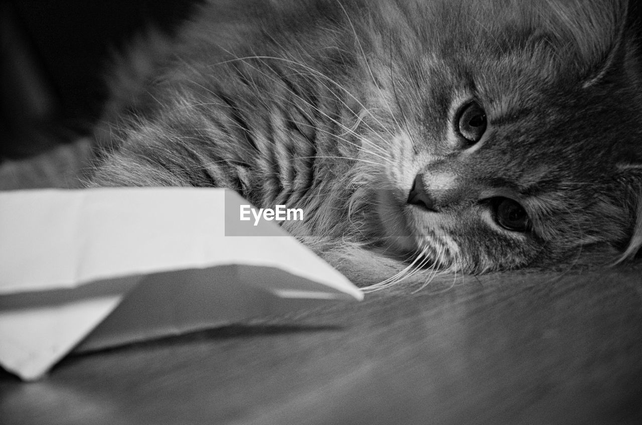 Portrait Of Maine Coon Cat Lying At Home