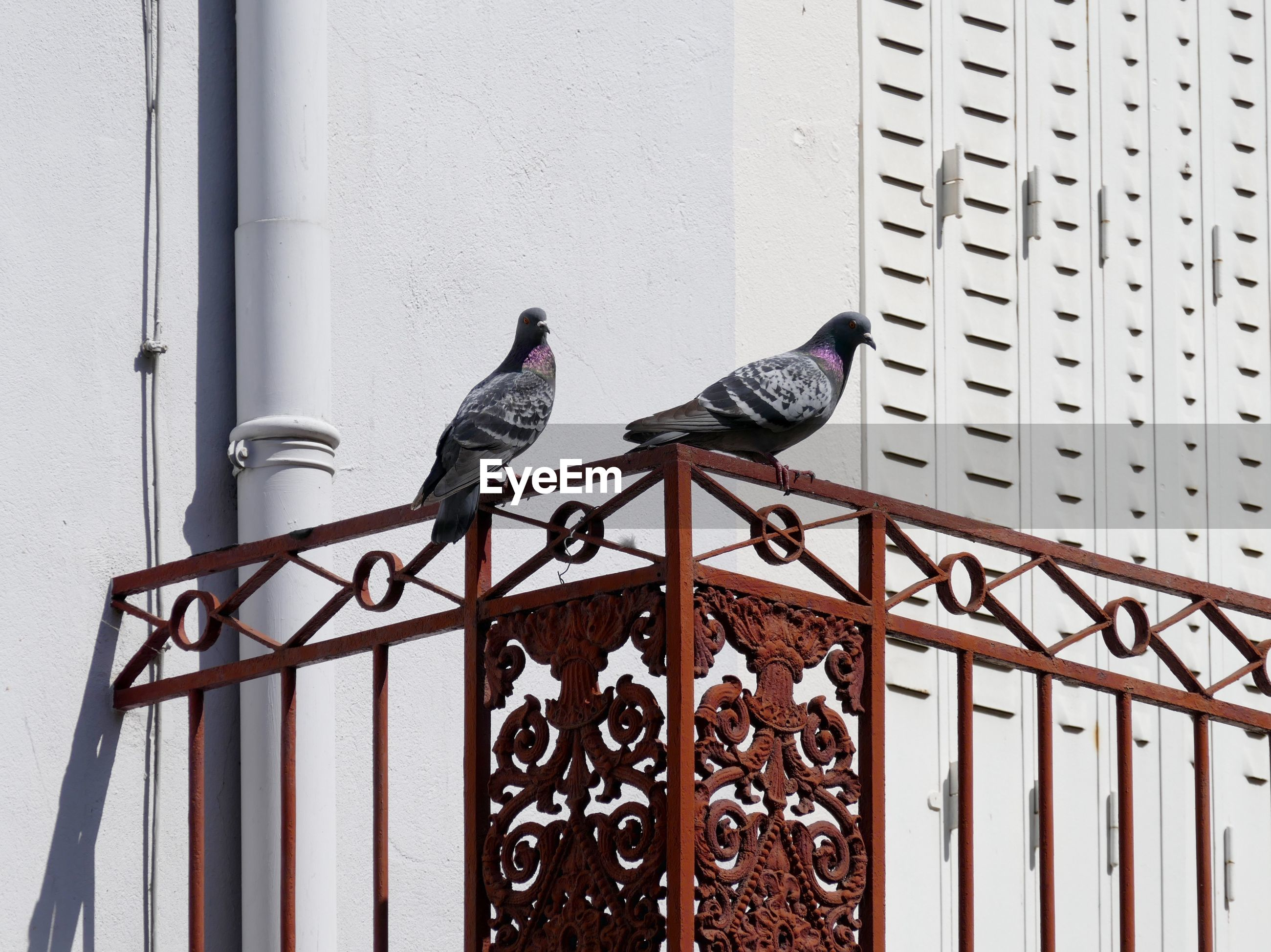 Two pigeons on iron railing