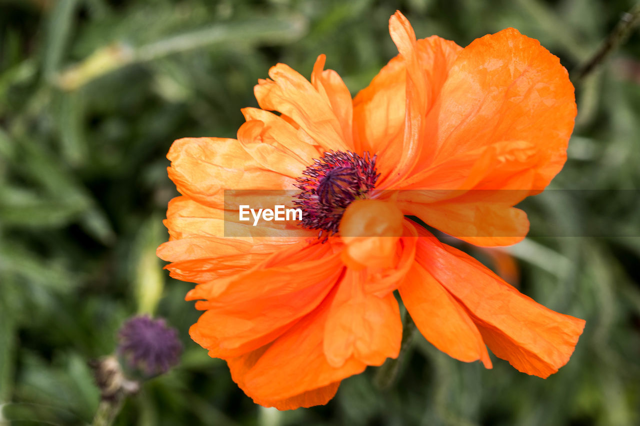 flower, petal, orange color, growth, freshness, nature, fragility, beauty in nature, flower head, plant, blooming, focus on foreground, outdoors, no people, day, close-up