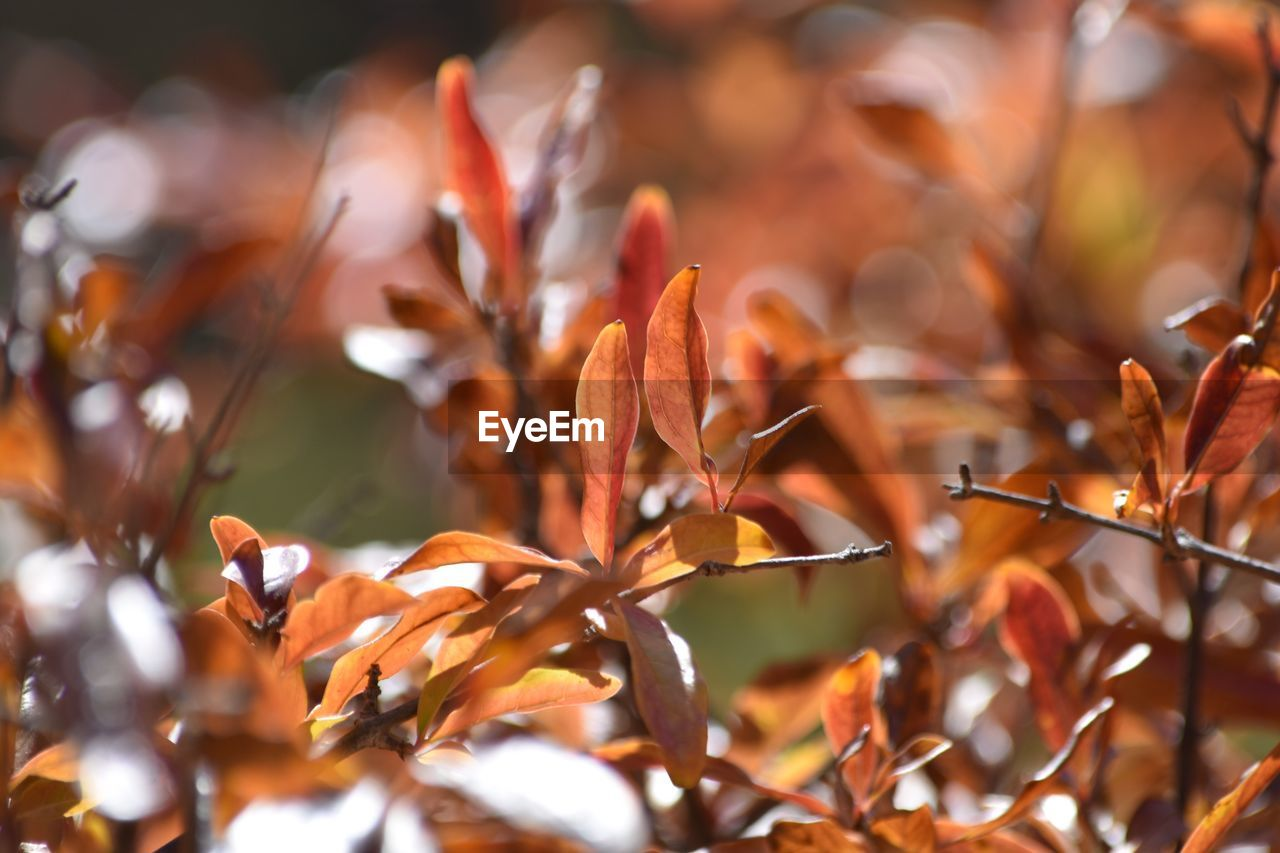 nature, orange color, beauty in nature, leaf, growth, autumn, no people, plant, outdoors, day, close-up, fragility, freshness