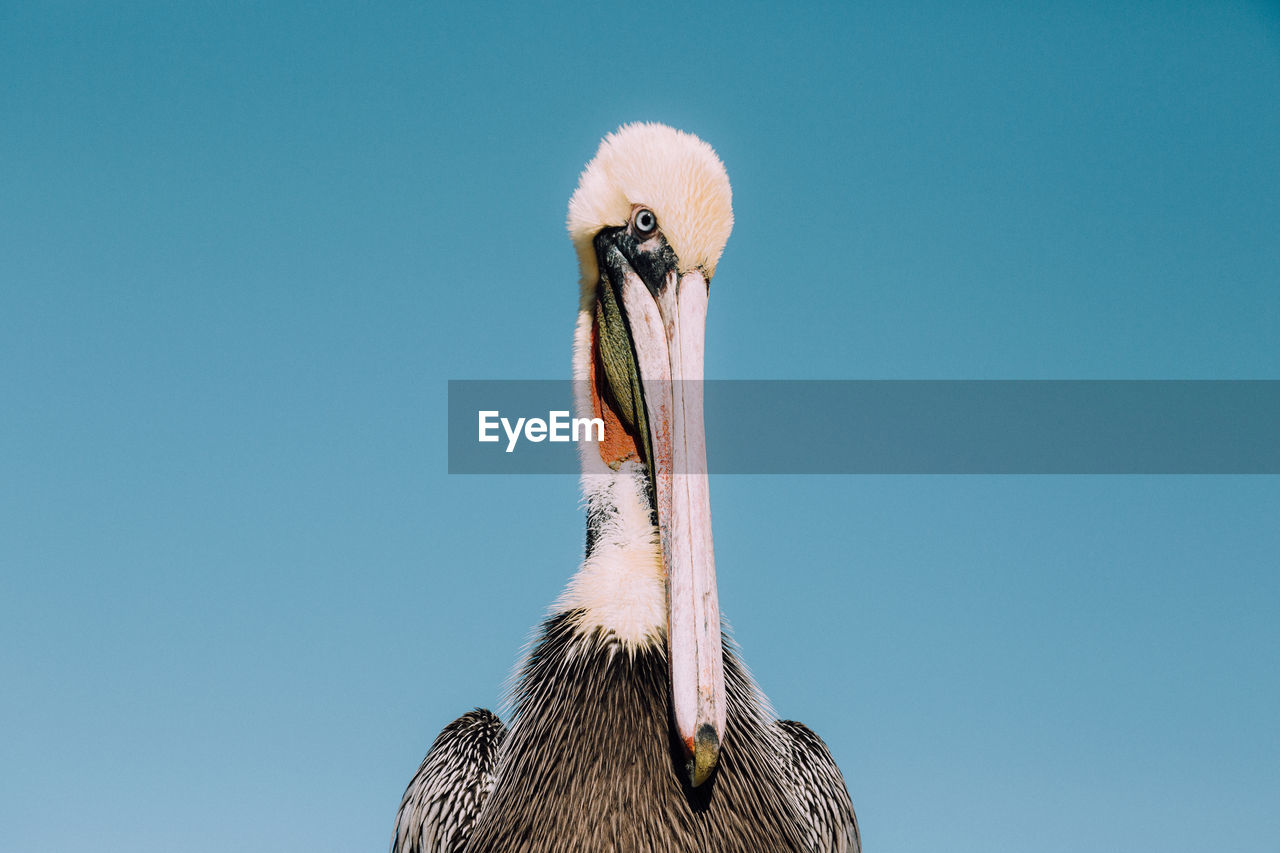 Close-Up Of Pelican Against Clear Blue Sky
