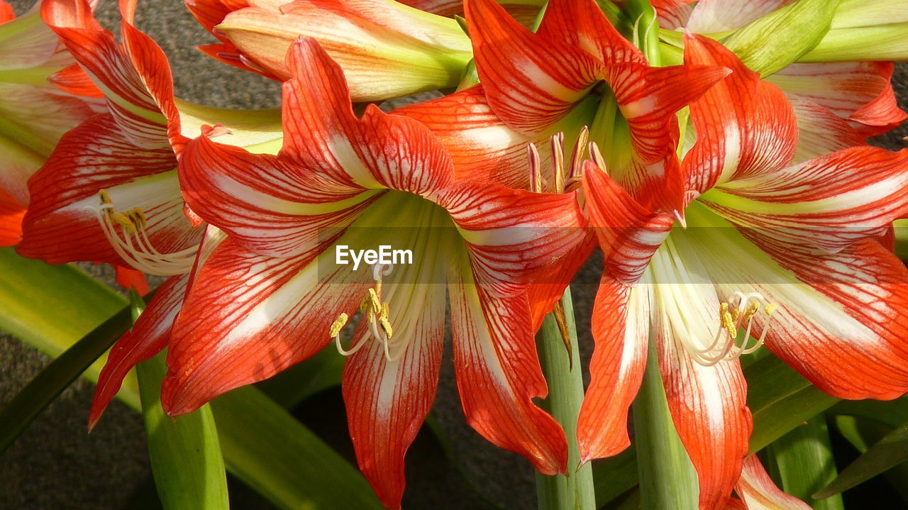 growth, no people, red, plant, close-up, petal, day, fragility, nature, flower, freshness, outdoors, beauty in nature, flower head, day lily