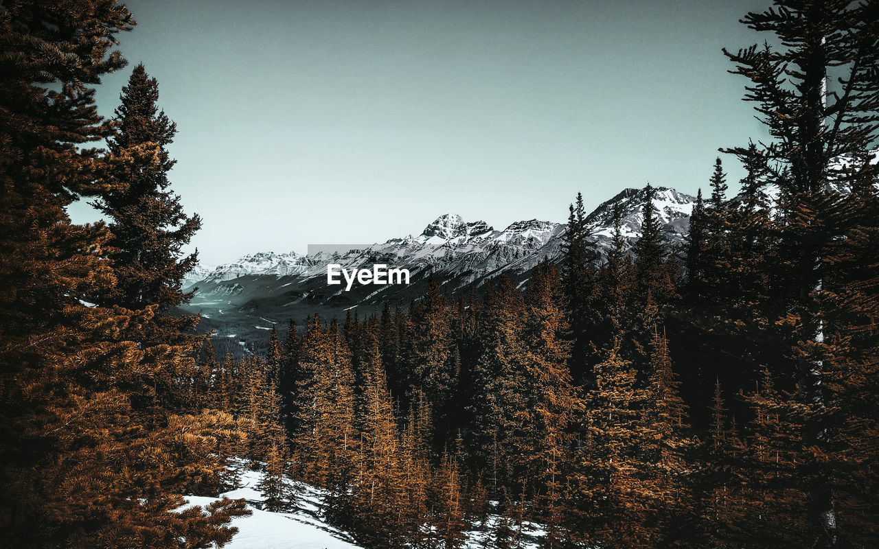 tree, winter, cold temperature, plant, snow, sky, beauty in nature, mountain, tranquility, nature, scenics - nature, clear sky, tranquil scene, environment, forest, non-urban scene, day, no people, growth, outdoors, snowcapped mountain, coniferous tree