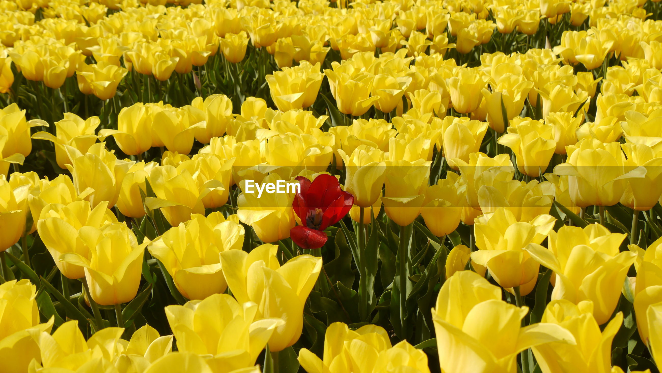 Close-up of yellow tulips in field with single red one
