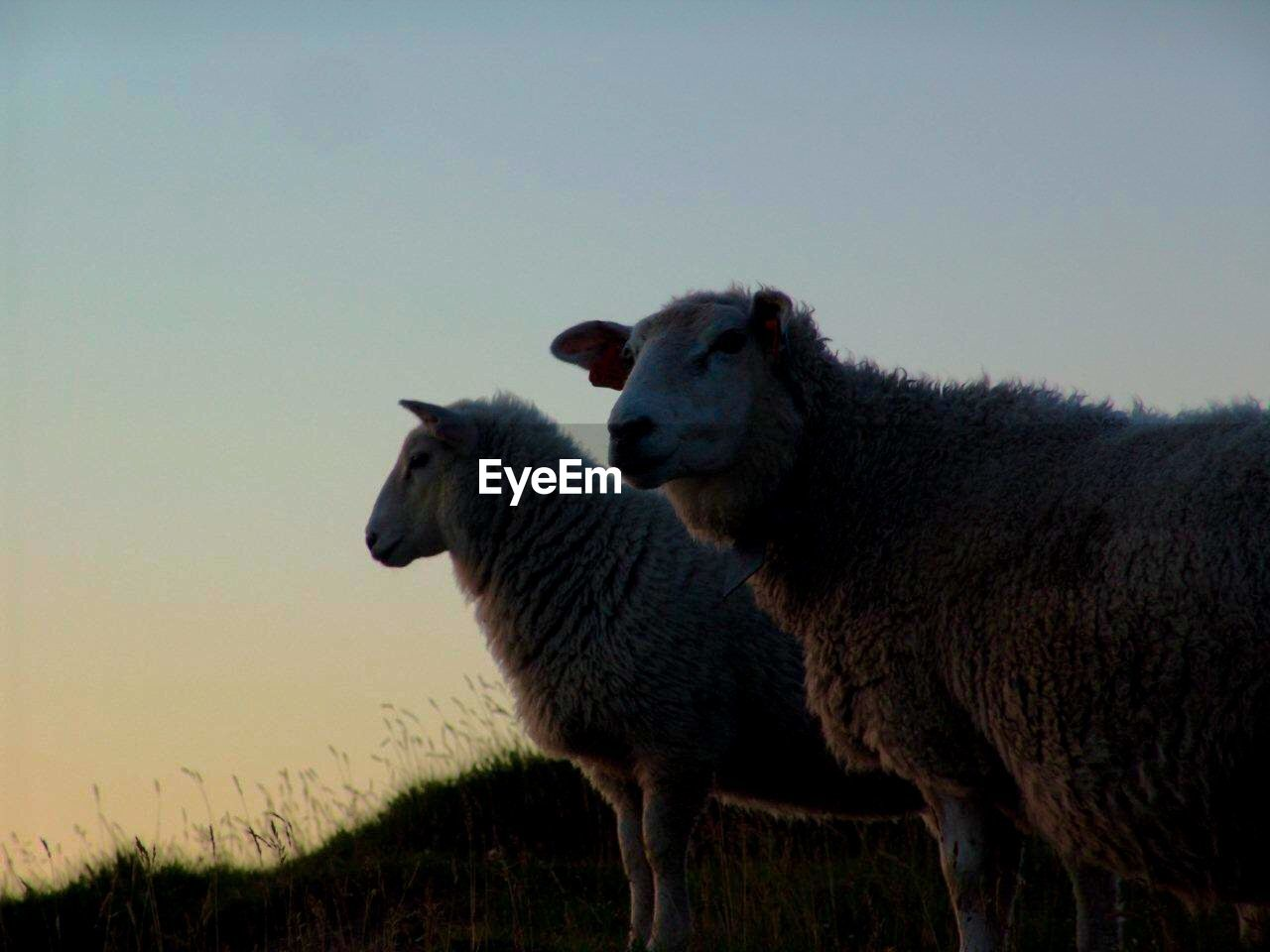 Sheep on grassy field against sky during sunset