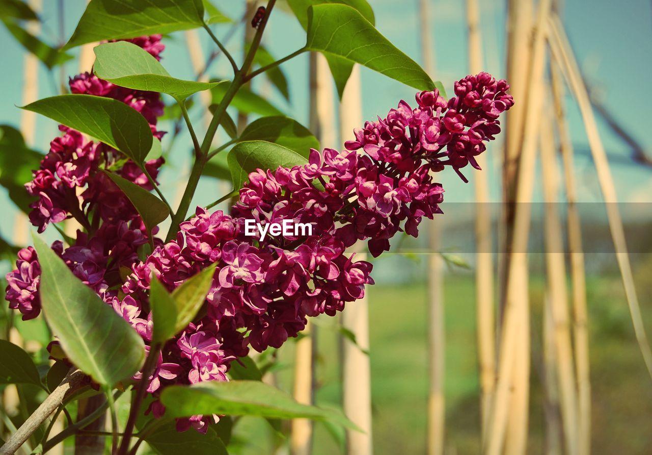 Magenta flowers blooming in park