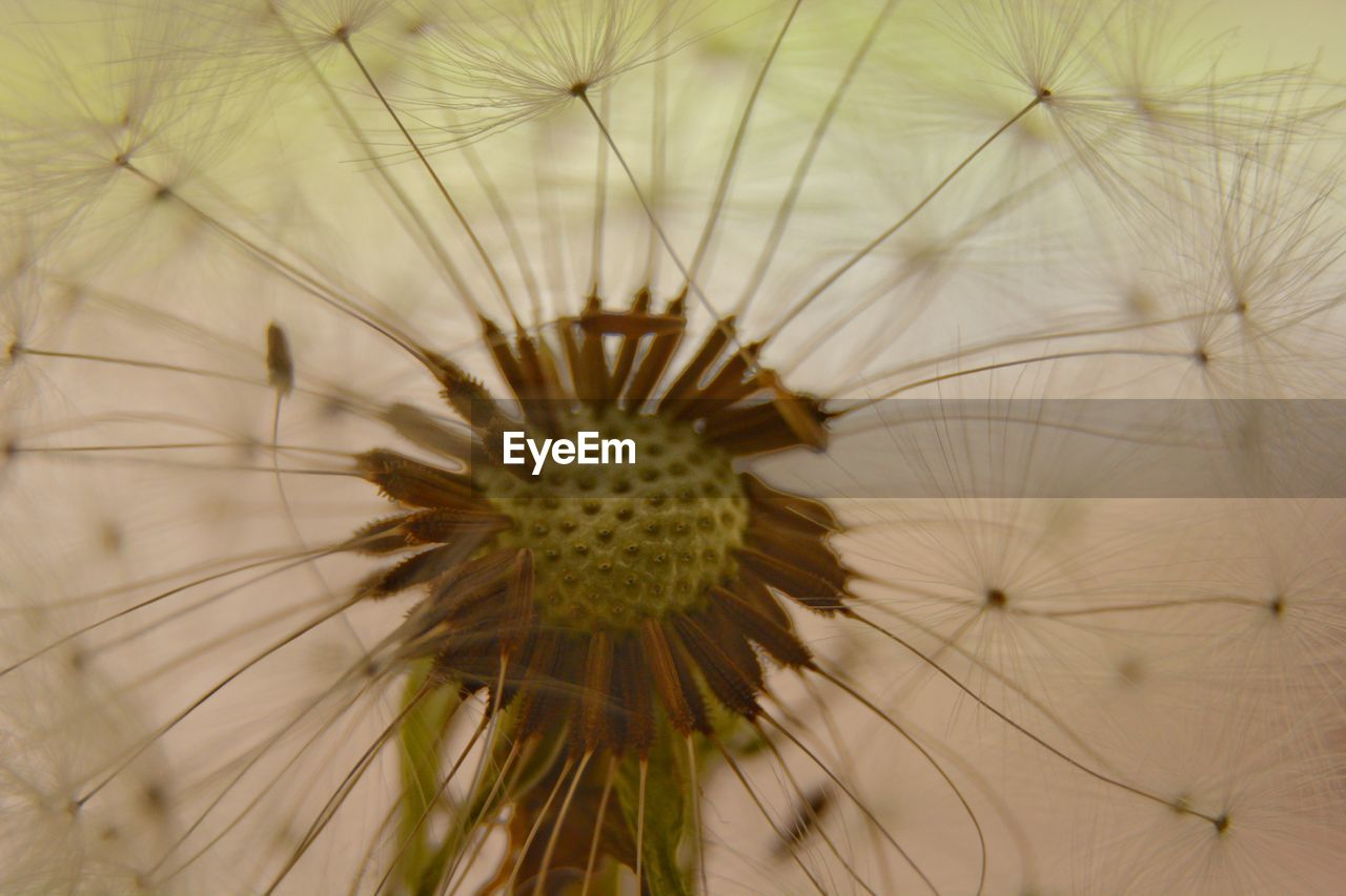 flower, flowering plant, fragility, vulnerability, plant, freshness, beauty in nature, close-up, growth, flower head, inflorescence, no people, dandelion, nature, day, selective focus, full frame, dandelion seed, focus on foreground, pollen, softness