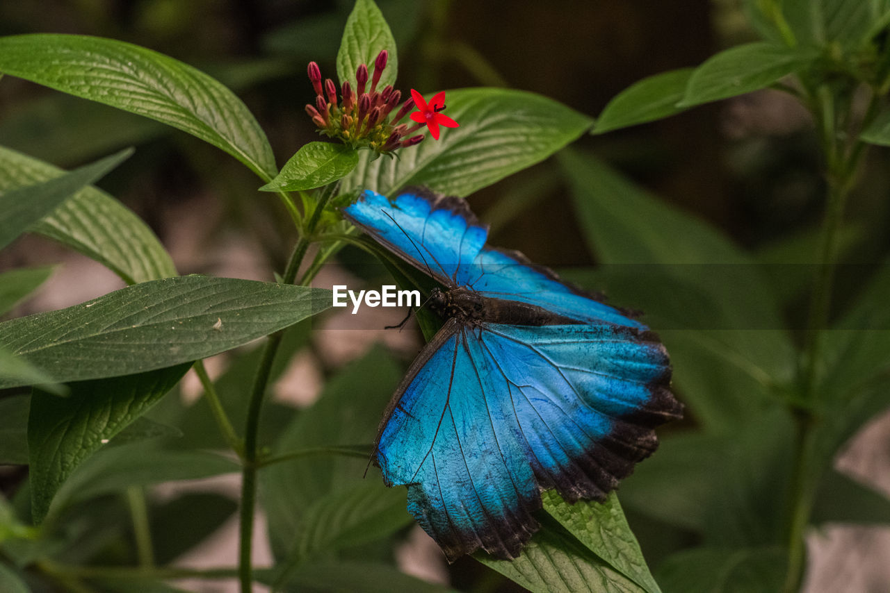 plant part, leaf, blue, animal themes, animal, animal wildlife, animals in the wild, plant, one animal, beauty in nature, close-up, no people, nature, growth, flower, flowering plant, green color, day, focus on foreground, insect, outdoors, animal wing, flower head, pollination, butterfly - insect