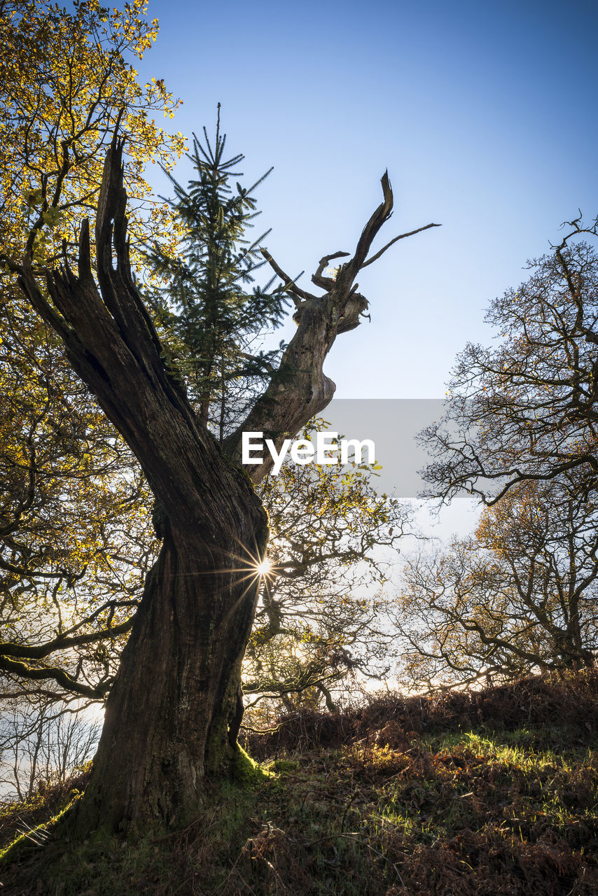 tree, plant, tree trunk, trunk, sky, nature, tranquility, branch, no people, growth, low angle view, beauty in nature, sunlight, land, day, outdoors, scenics - nature, environment, tranquil scene, clear sky